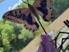 pina-metulj-small